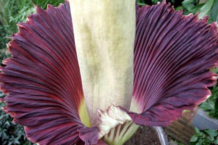 Bunga Bangkai Terbesar di Dunia (Amorphophallus titanium)