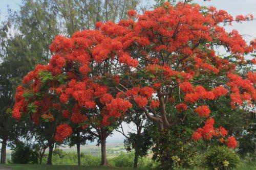 Rosario viviente universal puerto rico - Rododendro arbol ...