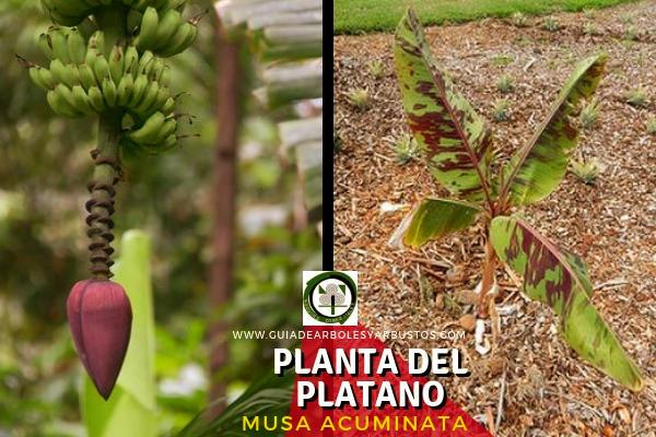 La planta del plátano, Musa acuminata, conocido como platanero o bananero