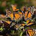 Disminuye la superficie ocupada por la mariposa monarca