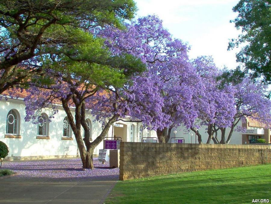 hàng cây phượng tím nở đẹp