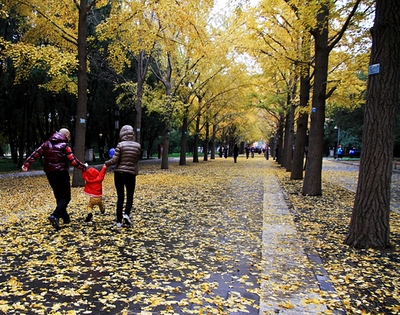 Street with ginkgo trees in the autumn