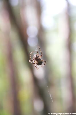 Epeire à bosses, Gibbaranea gibbosa, Apremont, Fontainebleau, (C) 2014 Greg Clouzeau