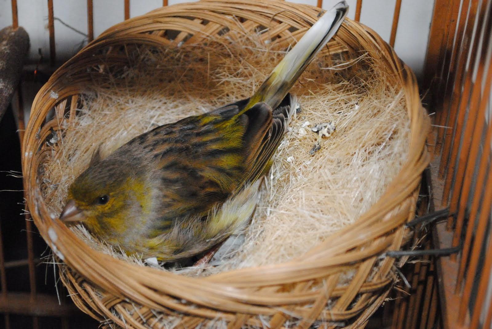 Lankah Lankah Berternak Burung Kenari Cara Berternak Kenari Dengan Baik