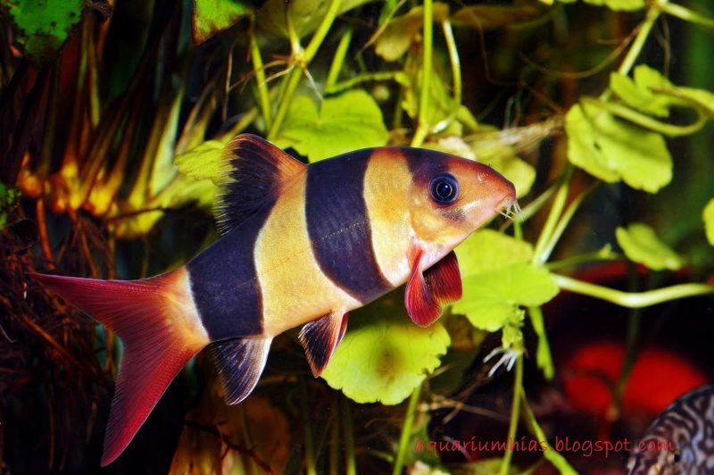 Gambar botia Jenis Ikan Hias Air Tawar Warna Belang Kuning Hitam