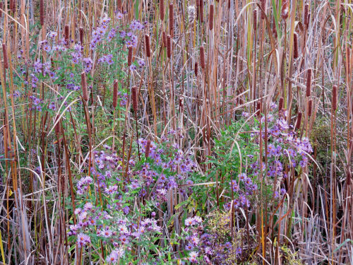 New England Aster and cattails