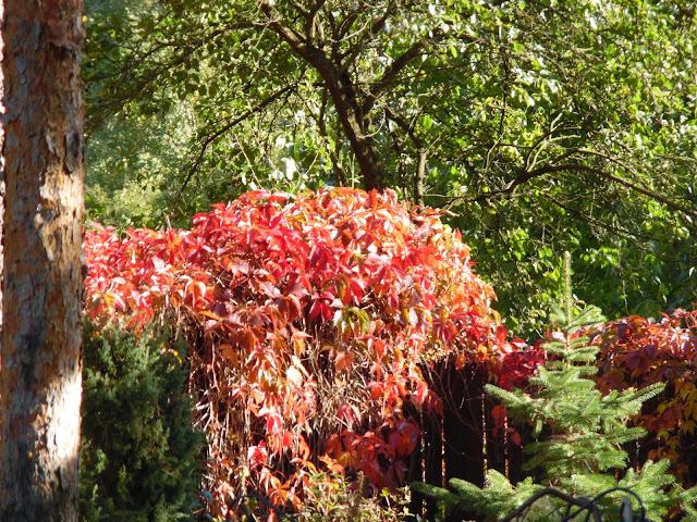 jesienna barwa winobluszczu pięciolistkowego