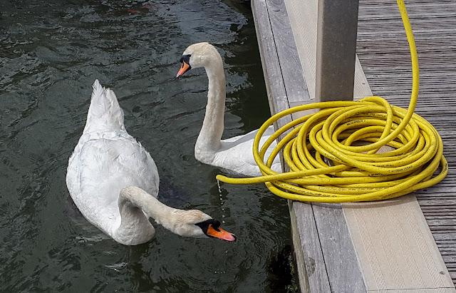 Photo of swans drinking at Maryport Marina