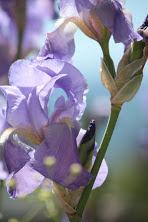 Photo, faded lilac Iris