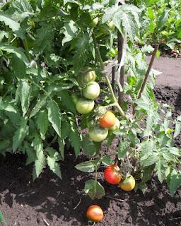 Поспевают первые помидорки