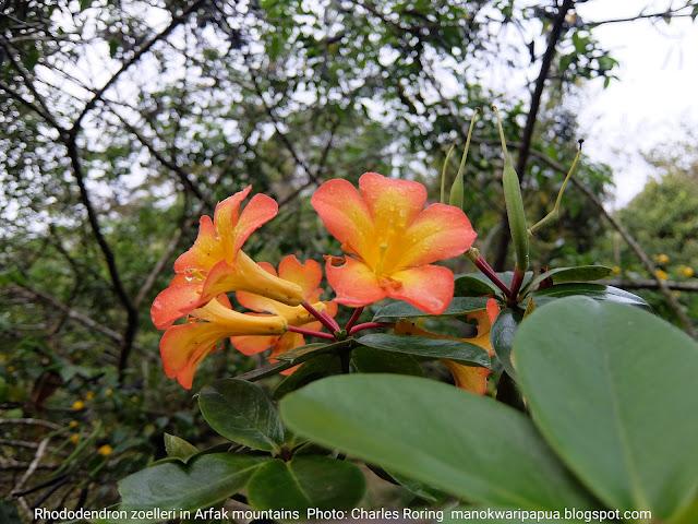 Rhododendron zoelleri flowers