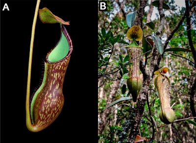 Nepenthes_justinae-novataxa_2016-Gronem.