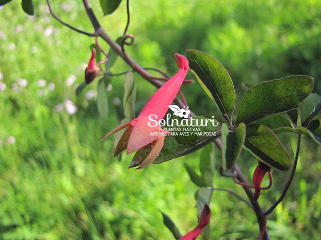 Tropaeolum pentaphyllum  Flor de pitito