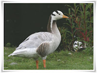 Goose Animal Pictures
