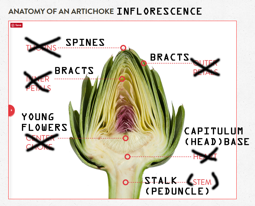 Botanical Accuracy: Anatomy of artichoke heads