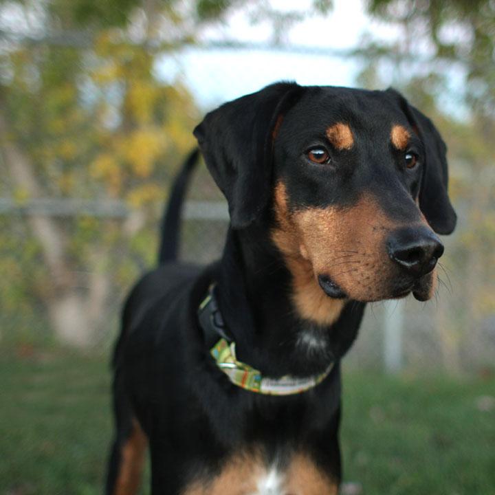 Blue Heeler Dog Mixed With Black Lab