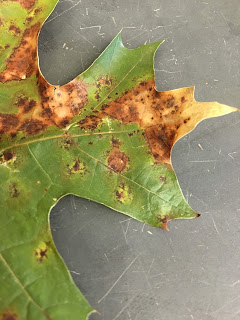 Close up of irregular brown spots on an oak leaf caused by a fungus