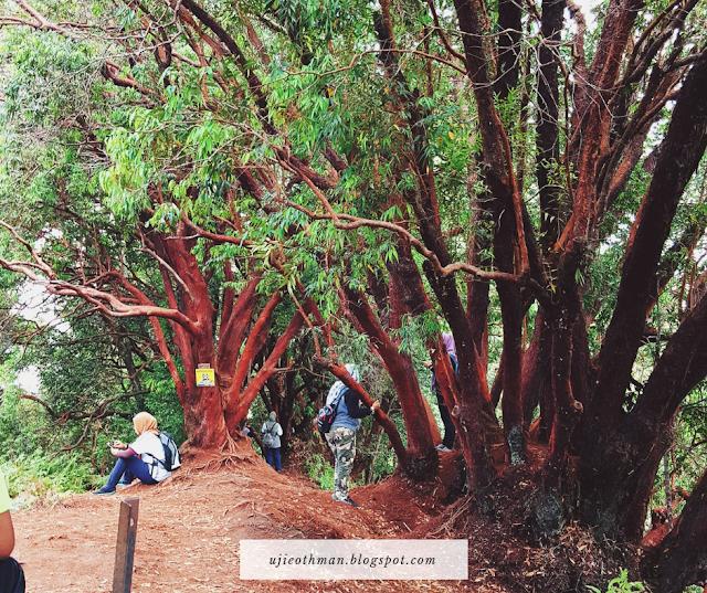 red forest hutan dengan pokok warna merah
