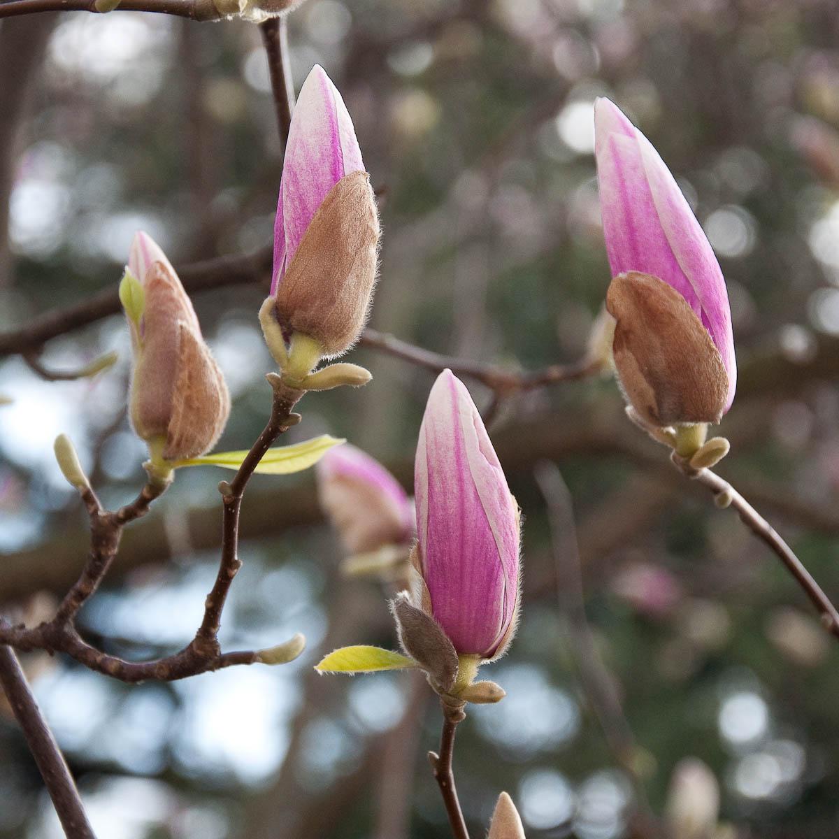 Magnolia in bloom, Vicenza, Veneto, Italy