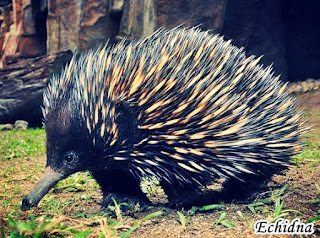 Animals That Begin With E - Echidna