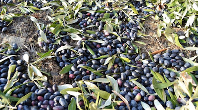 Αποτέλεσμα εικόνας για agriniolike ελιές
