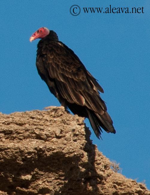 El Jote ave de Península Valdés y Patagonia