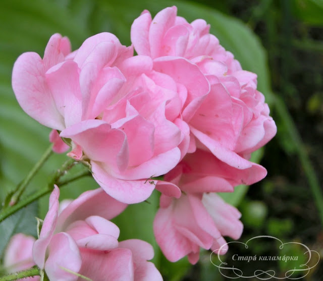 роза The Fairy, розарий, сочетания роз, розы фото, розы в саду, цветники с розами