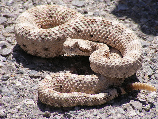 SW/CA: Coyote and the Rattlesnake