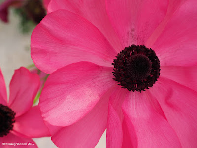 Pink Ranunculus macro by welaughindoors