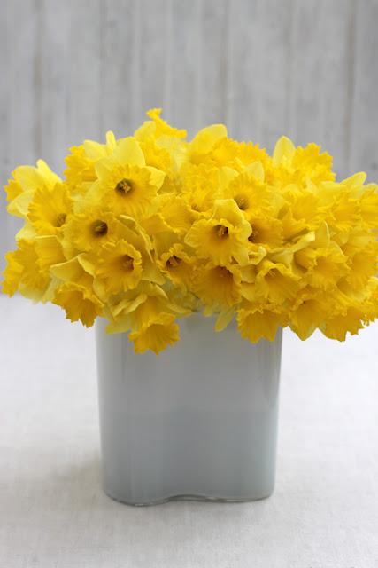 Yellow Daffodils in Alvar Aalto Savoy Vase