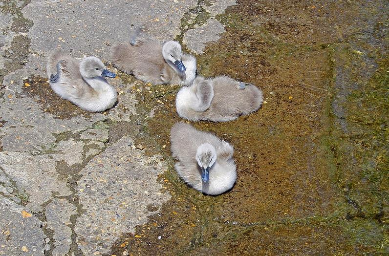 Buy wallart of Cygnets