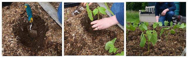 planting out the dwarf borlotto beans -  www.growourown.blogspot.com