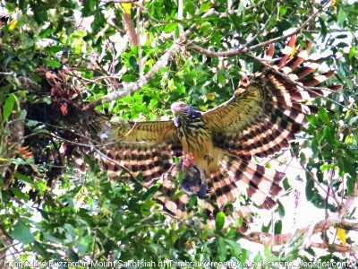 Long-tailed Honey Buzzard
