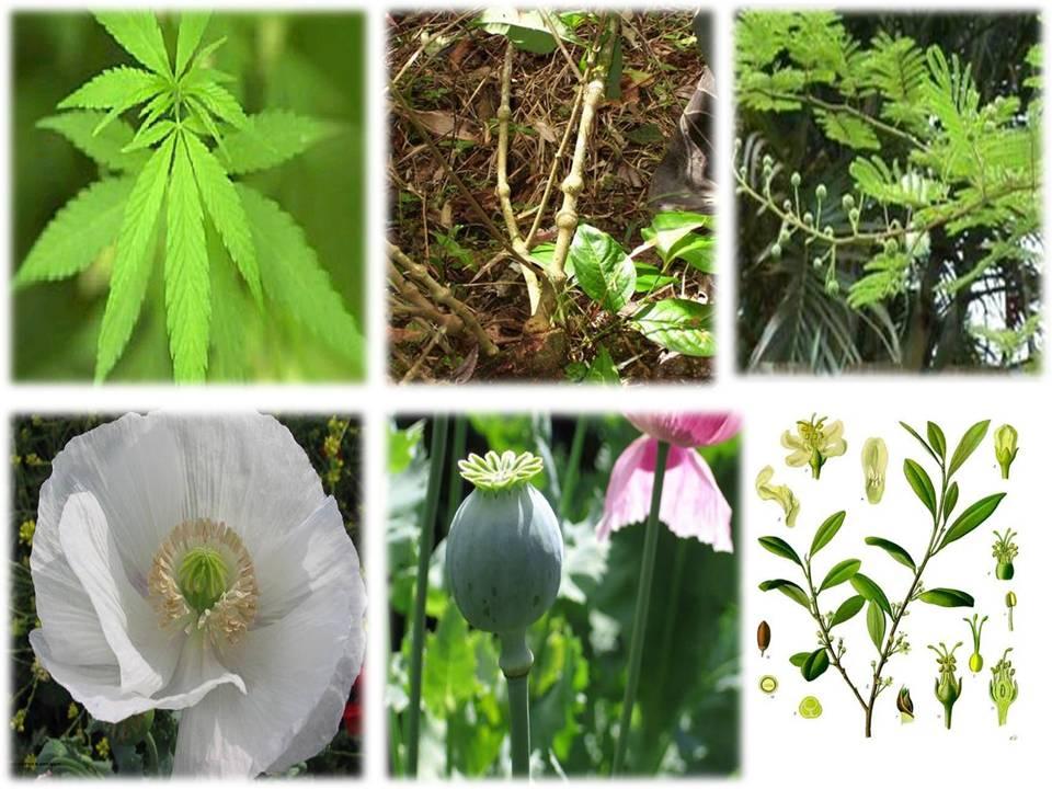 #Plantas Alucinógenas
