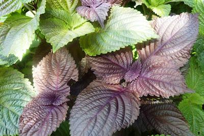 Mách bạn cách trị mề đay mẩn ngứa bằng các loại thảo dược thiên nhiên