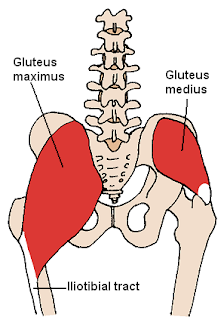 gluteus medius muscle, anatomy, muscle picture