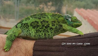 Trioceros jacksonii xantholopus