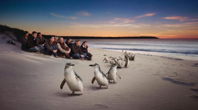 Aktivitas Lucu Penguin di Phillip Island