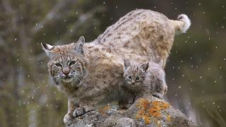 gambar kucing Bobcat / Blacan (Kucing Liar)