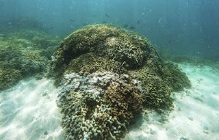 coral bleaching, Hawaii, Oahu, Kaneohe Bay