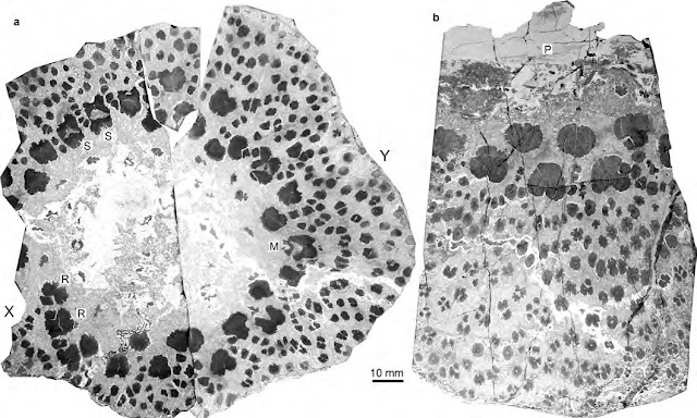 World's oldest trees reveal complex anatomy