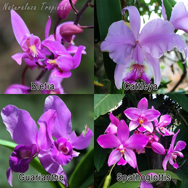 Orquídeas comunes en la región tropical de América