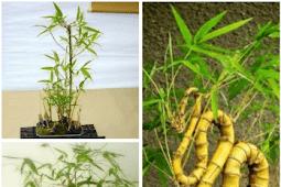 Membuat Tanaman Bonsai Bambu Kuning Mini