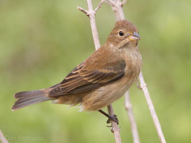 Wild Birds Unlimited Female Indigo Bunting Pictures