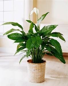Tanaman Hias Peace Lily dapat membersihkan udara dalam ruangan