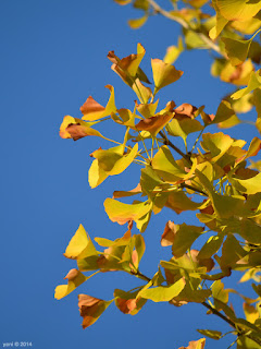 blue sky, gold leaves