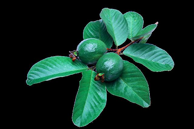 Apa manfaat daun jambu biji untuk kesehatan dan Kecantikan