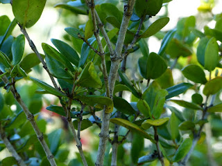 Pyrostria orbicularis - Bois mussard - Pyrostre orbiculaire