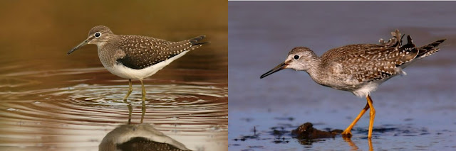 Comparison of Solitary Sandpiper and Lesser Yellowlegs in Newfoundland