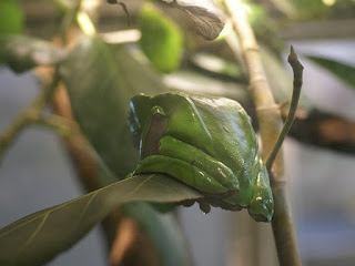 Phylloméduse bicolore - Rainette-singe - Phyllomedusa bicolor